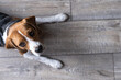 Beagle Dog Lies On A Wooden Floor And Looks Up. Empty Space On The Right. Background