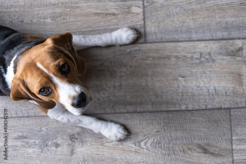 Beagle Dog Lies On A Wooden Floor And Looks Up Fotobehang