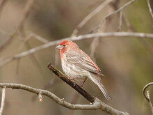 Red Headed House Finch Perched On Branch