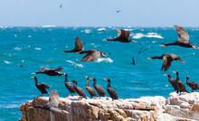 Flock Of Cormorants On A Cliff Near T