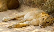 Beautiful Shot Of A Powerful Sleeping Lion