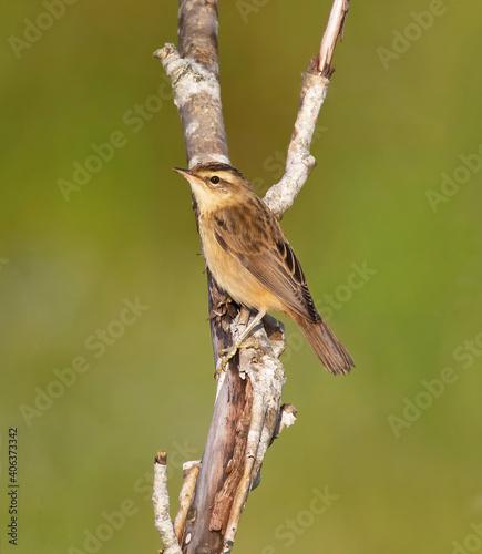 Fotografie, Obraz The sedge warbler (Acrocephalus schoenobaenus) is an Old World warbler in the genus Acrocephalus