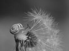 Close-up Of Tiny Snail On Dandelion
