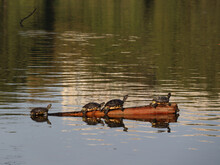 Beautiful Shot Of Four Little Terrapin Turtles In The Swamp