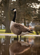 Goose Standing In A Puddle With A Reflection In The Park