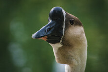 A Selective Focus Closeup Of A Chinese Goose's Head In The Wildpark Schwarze Berge In Rosengarten, Germany