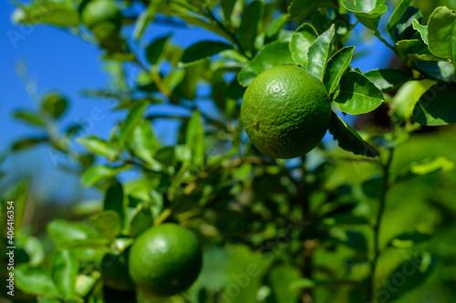 Fototapeta Green lemon on the tree obraz
