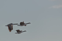 Three Canada Geese Flying Against Clean Background With Negative Space For Text