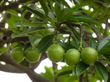 Closeup Shot Of Green Suicide Tree Fruits On Tree Branches