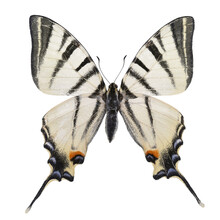 Butterfly - Scarce Swallowtail (Iphiclides Podalirius) Isolated On White