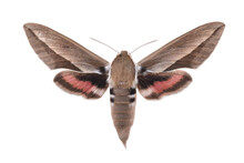Bedstraw Hawk-moth (Hyles Gallii) Isolated On White