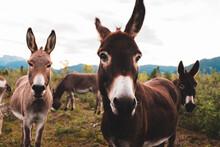 Donkeys In The Meadow