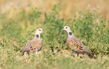 Close Up Of Two European Turtle Doves In A Meadow