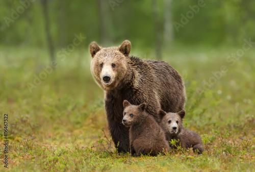 Fototapeta Female Eurasian brown bear and her cubs in boreal forest.