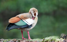 Close Up Of An Egyptian Goose Against Green Background