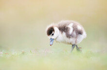 Close Up Of A Egyptian Goose Gosling In Grass