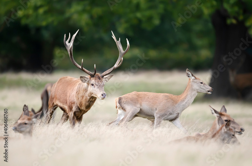 Red deer stag chasing a hind during rutting season in autumn Wallpaper Mural