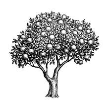 Ink Sketch Of Apple Tree.