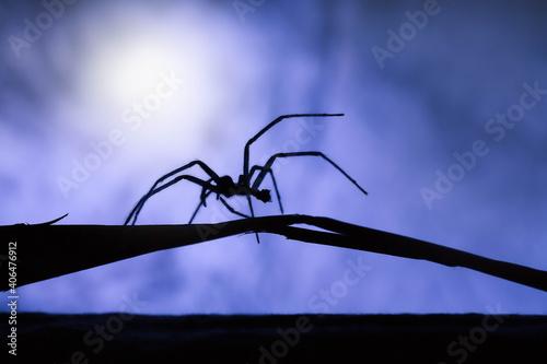 Canvastavla spider on a branch