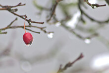 Red Fruit Of A Rose Hip In Winter Time With Snow, Ice And Icicles Shows Thawing In December After Snow Fall With Melting Ice, Melting Snow And Water Drops On The Winter Fruit