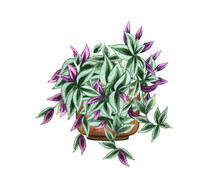 Wandering Jew, Houseplant In The Pot, Isolated On White Background. Watercolor Potted Plant Illustration. Home Decor.