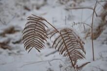 Die Struktur Von Trockene, Rötliche Farnblätter Im Verschneiten Wald Teilweise Mit Schnee Bedeckt.
