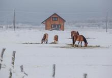 Winter On A Farm In A Russian Village. Leningrad Region. Russia