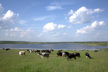 Rural Landscape With Green Meadow Herd Of Cows Grazing Near Large Lake Under Blue Sky With Beautiful Clouds In Sunny Summer Day
