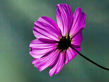Garden Cosmos Or Mexican Aster Flower In The Blurred Background, A Shot From The Back
