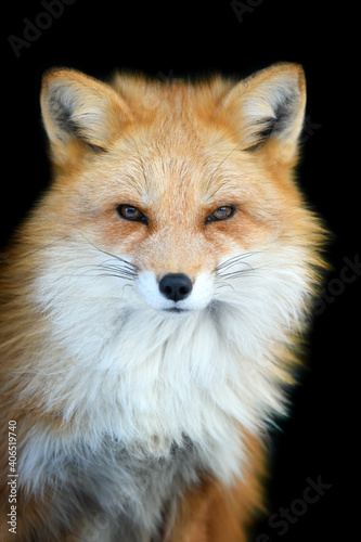 Fototapeta premium Close up view red fox. Wild animal isolated on a black background