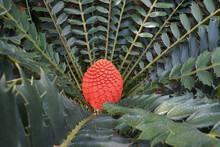 Rare Cycad (Encephalartos Ferox) With Red Female Cone