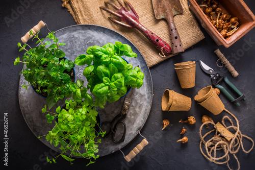 Fototapeta Replanting herbs - plants in pots, green garden on a balcony. obraz
