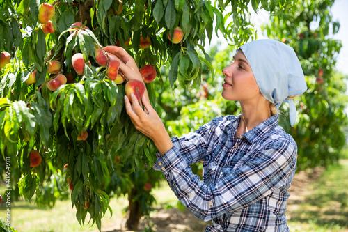 Fotografie, Obraz Girl horticulturist in kerchief picking peaches from tree in garden