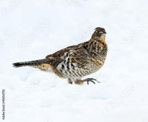 Obraz na plátne Ruffed Grouse Standing on Snow in Winter, Closeup Portrait