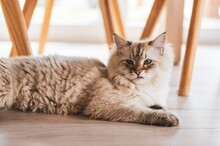 Closeup Shot Of A Cute Cat Lying Under The Chairs On The Wooden Floor