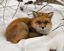 Red Fox Stock Photos. Close-up Profile View Resting In The Winter Season In Its Environment And Habitat With Snow Background Displaying Bushy Fox Tail, Fur Fox Image. Picture. Portrait.