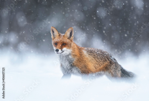 Fototapeta premium Fox (Vulpes vulpes) in winter scenery