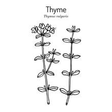 German Thyme Thymus Vulgaris , Medicinal Plant.