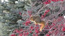 Fox Squirrel Adult Eating Winter Red Berries In South Dakota