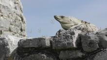 Mexican Spiny-tailed Iguana Head Bobbing Breeding Display On Mayan Ruins