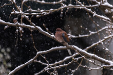 Dove Perched On A Branch, When It Snows, Winter