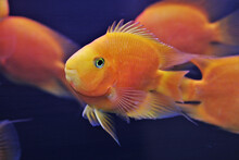 Hybrid Orange Parrot Cichlid Are Swimming In Freshwater Aquarium. Blood Parrot Cichlid Is A Hybrid Between Midas And Redhead Cichlid.