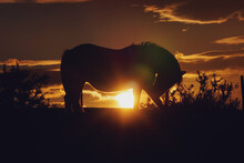 Horse Silhouette And Sunset In The Field, Animal Themes