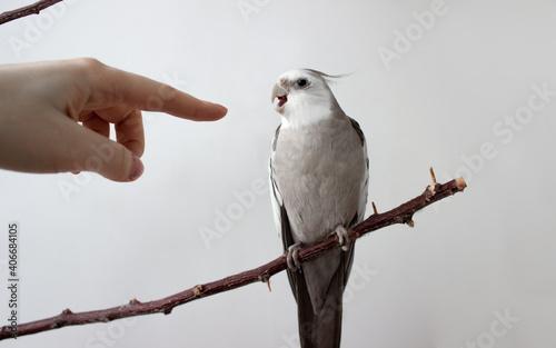 Fototapeta close up white parrot cockatiel open beak biting man's finger