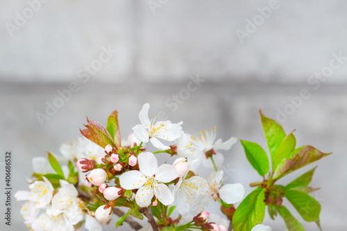 Obraz na plátně Tree blossoming branch with white flowers
