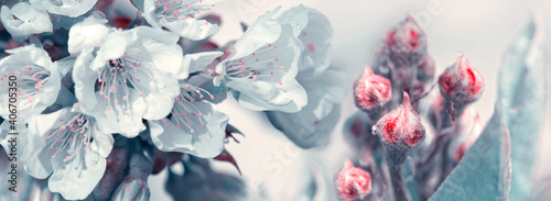 Fotografia Flowering cherry isolated on blue .Spring background.