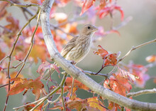 Female House Finch In A Japanes Red Maple Tree