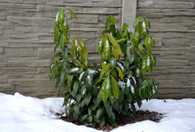A Hardy Species That Has All The Attributes Of Previously Delicate Cultivars: It Is Tall, Has Large Leaves Of  Pleasant Color, Grows Quickly And Is Surprisingly Very Hardy  Large-leaved Laurel