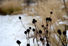 Perennial Flowerbeds With Grasses And Hornbeam Hedge In Winter With Snow. Constrast Of Ornamental Yellow Dry Grasses And Brown Inflorescences Of Rudbekia. Footpath Of Sandstone Between Tufs