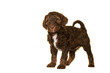 Leinwandbild Motiv Cute brown labradoodle puppy standing isolated on a white background looking at the camera, with space for copy